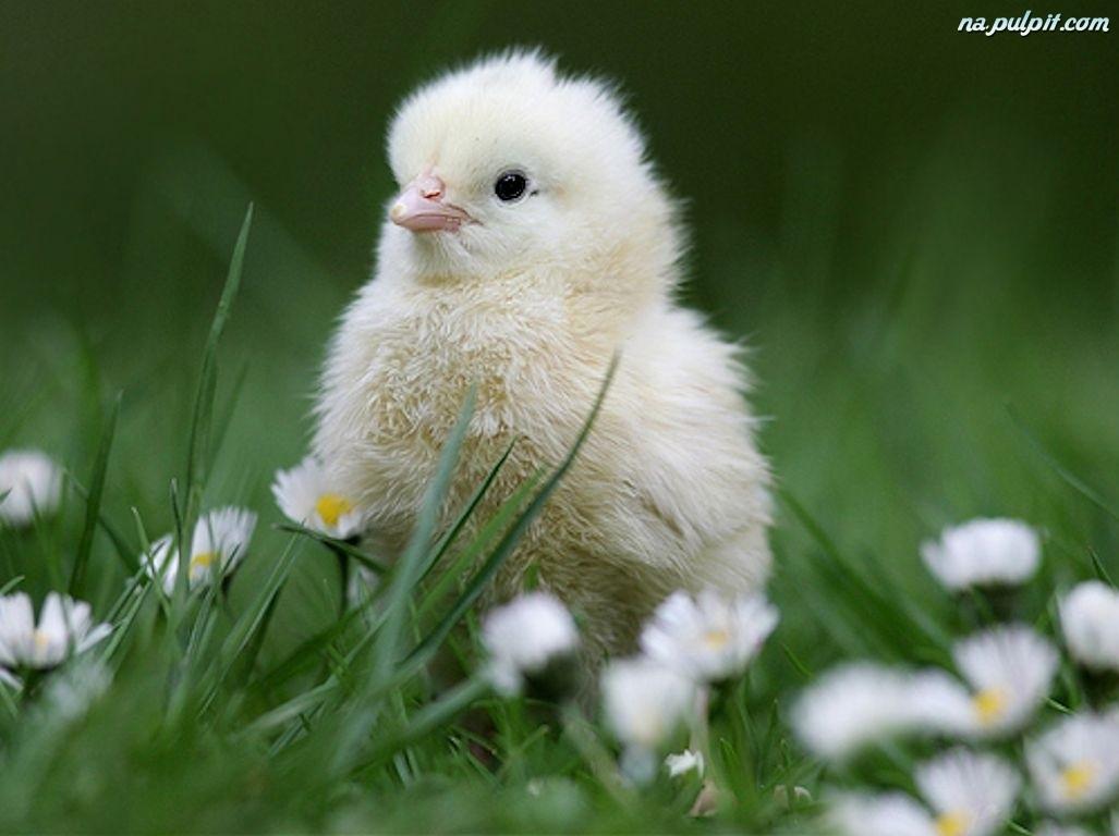 Znalezione obrazy dla zapytania kurczaczek